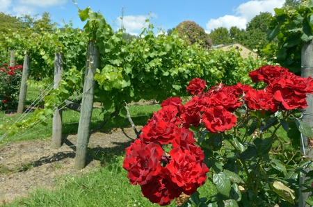 viniculture: Red rose flowers plant grows in a wine vineyard for attractiveness to pollinators such as the honeybees, native bees and butterflies. Stock Photo