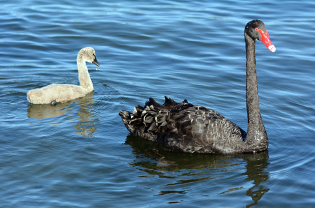 swimming swan: Adult female Black swan with her cygnet on Lake Rotorua, New Zealand. Stock Photo