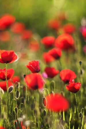A field of blossoming green and red anemone flowers photo
