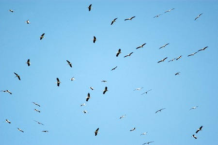 migrate: A flock of hundreds of pelicans migrate from Europe to Africa passing Israeli skies above Hula Nature Reserve in north Israel. Stock Photo