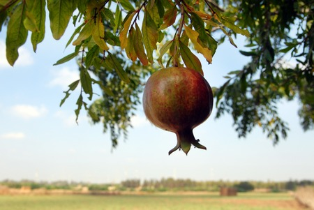 kibbutz: A pommegranate hangs on a tree in an orchard.
