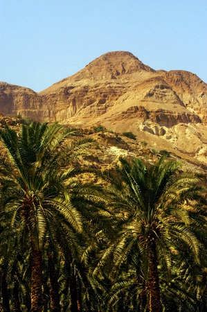 judea: A grove of palm trees in Ein Gedi oasis in the Judea Desert Israel.