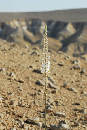 White sea squill plant blossoms during the Autumn season in the western Negev desert, Israel. Stock Photo