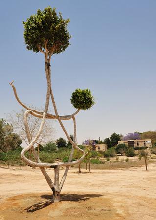 turismo ecologico: Un �rbol en forma en la formaci�n de la estrella de david