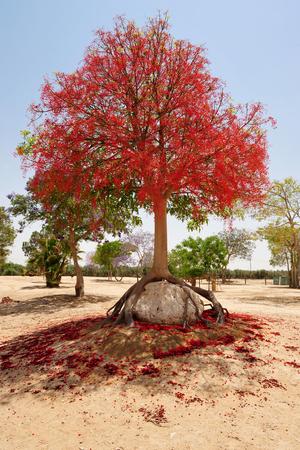 turismo ecologico: Un �rbol rojo crece sobre una roca Foto de archivo