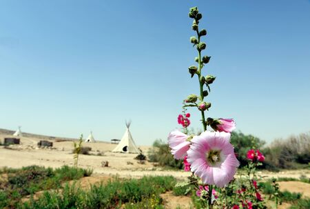 tepee: Pink Gladiolus in the desert with tepee tents in background.