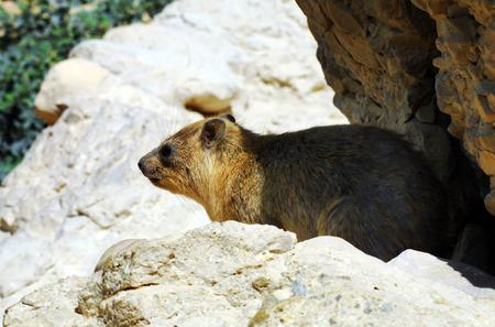 turism: Rock Hyrax in his natural habitat.