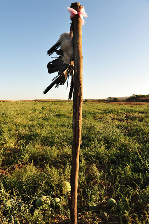 scare: A dead crow hang in a watermelon field used to scare live crows.