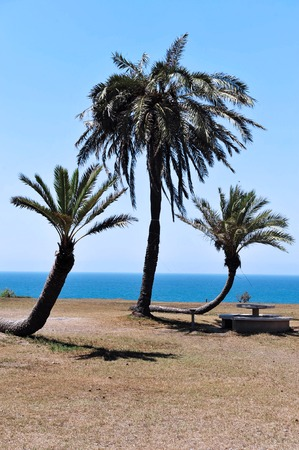 three palm trees: Three palm trees in Ashkelon National Park in Ashkelon, Israel. Stock Photo