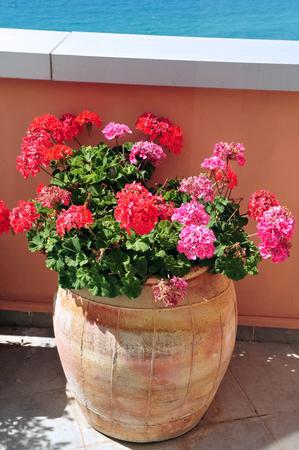 greek pot: fiori di geranio rosa e rossi in una pentola.