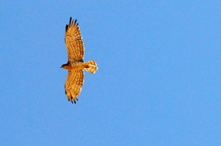 talons: Hawk during flight in air