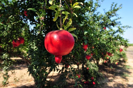 Pomegranate orchard in Israel