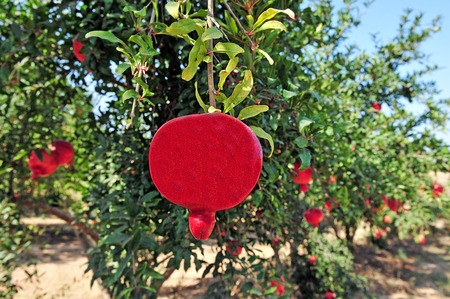 punica granatum: Pomegranate fruit orchard in Israel. The fruit is a Symbol of the Jewish New Year, Rosh Hashanah Stock Photo