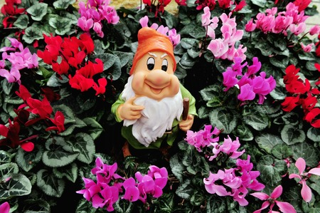 lawn gnome: Pink and Purple Cyclamen flowers for sale surrounded by a smiling garden gnomes with a white beard