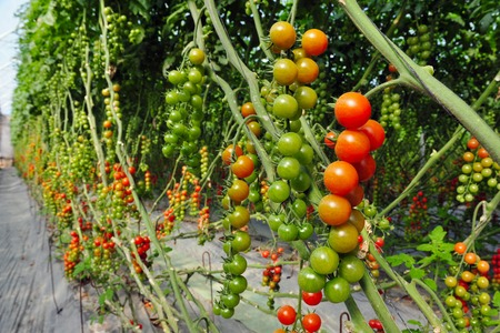 growing tree: An orchard growing tree tomatoes