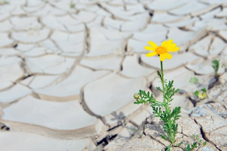 Yellow daisy flower growing through brown dried soil with a single yellow flower Stock Photo