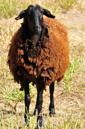 mouton noir: Mouton noir. Banque d'images