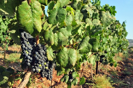 Fresh purple grape fruit grows in a vineyard of the Trappist Monastery in Latrun, Israel. photo
