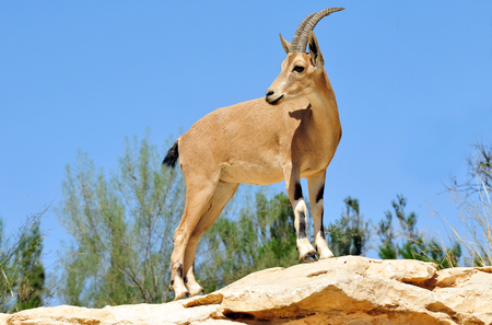 kibbutz: Ibex Mountain goats near kibbutz Sde Boker. Stock Photo