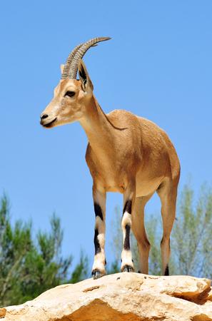 mountain goats: Ibex Mountain Goats vicino kibbutz Sde Boker.