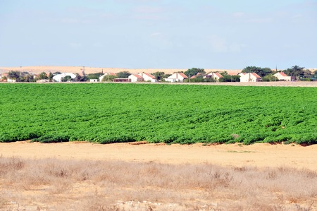 kibbutz: Green crops in Kibbutz at the Negev desert in South Israel.