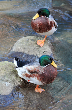 lake beach: Two Mallard ducks on a lake beach Stock Photo