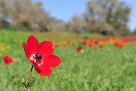 anemone flower: Red Anemone flower blossoming in a field. Stock Photo