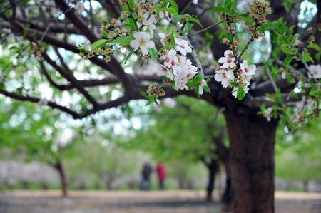 israel farming: Almond trees blossom in spring season.