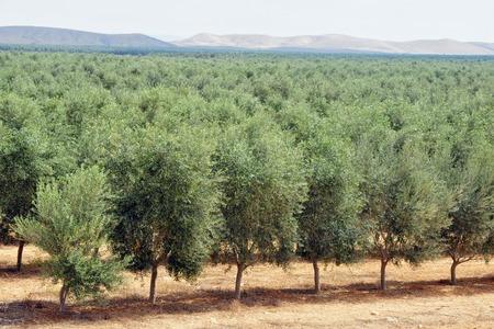 tree plantation: Olive tree plantation.