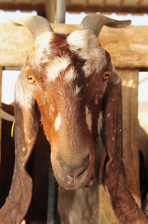 israel farming: Dairy milking of Goats in Individual farms in the Negev. Stock Photo