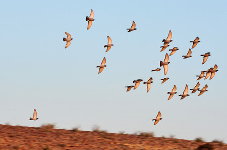 turtle dove: A group of European Turtle Dove fly over desert sky