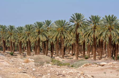 judaean desert: Plantation of palm trees at Ein Gedi in the Dead Sea area Israel
