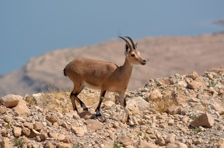 mountain goats: Ibex Mountain goats in the Dead Sea Israel