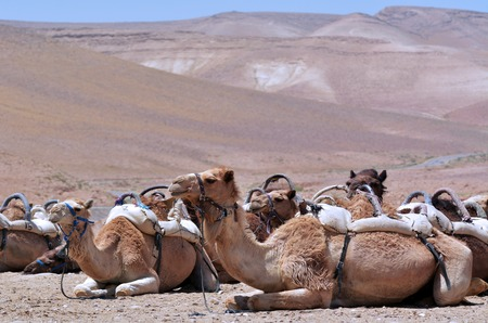 arab beast: Convoy of Camels rest during a desert voyage in the Judaean Desert, Israel Stock Photo