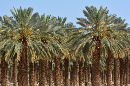 judaean desert: Plantation of palm trees at Ein Gedi in the Dead Sea area, Israel.