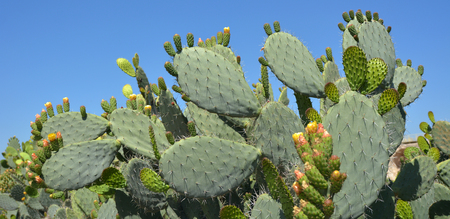 spines: Prickly pear cactus with fruit in orange color, cactus spines.