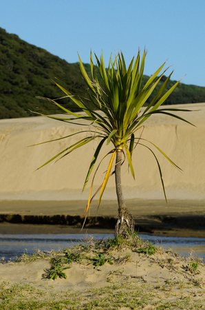 Te: Plant in Te Paki sand dunes in Northland New Zealand.