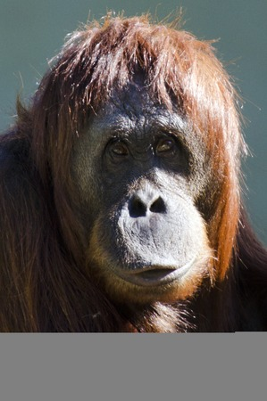 orangutang: A young female orangutan orange monkey from Borneo, south east asia.