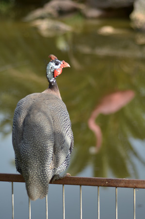 coulorful: Helmeted guineafowl (Numida meleagris) sit on a fence of a pond.