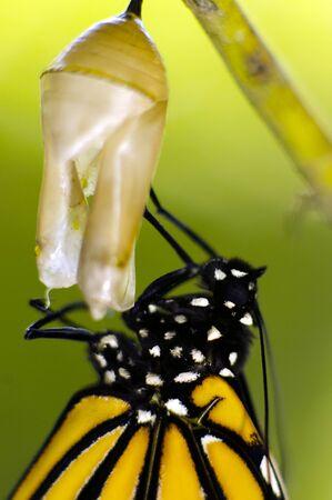 transmute: Mariposa monarca, Milkweed Mania, beb� nacido en la naturaleza. Foto de archivo