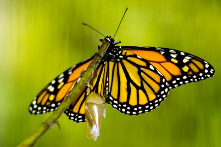 plexippus: Monarch Butterfly, Milkweed Mania, baby born in the nature.
