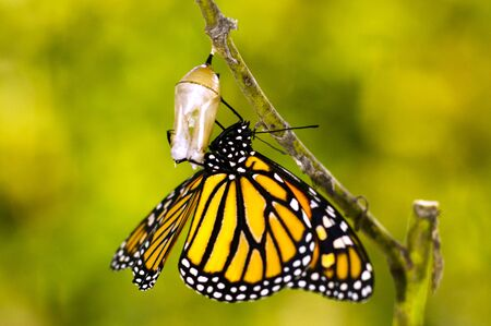 pupae: Monarch Butterfly, Milkweed Mania, baby born in the nature.