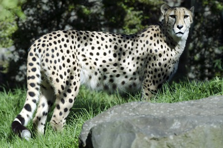 carnivore: Wild african cheetah portrait, beautiful mammal animal, endangered carnivore in Africa. Stock Photo