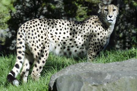 carnivores: Wild african cheetah portrait, beautiful mammal animal, endangered carnivore in Africa. Stock Photo