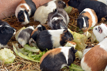 Parti-colored Abyssinian guinea pigs eat Lettuce in Petting zoo. Stock Photo