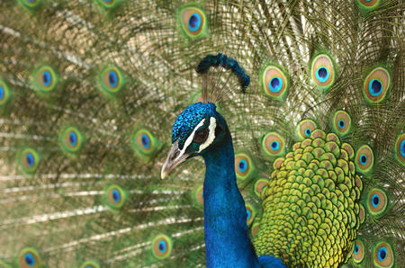 displays: An Indian peacock (Pavo cristatus) displays vibrant and colorful feathers. Its the national bird of India