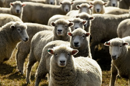 sheep wool: Flock of sheep, New Zealand. Stock Photo