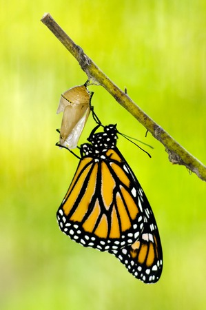 transfigure: Monarch Butterfly, Milkweed Mania, baby born in the nature.