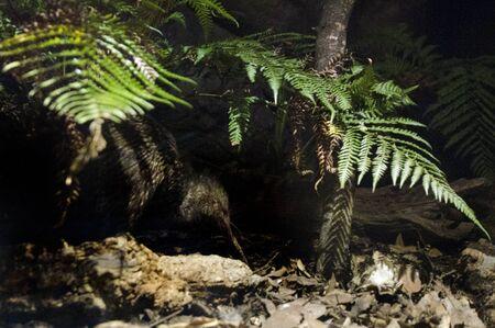 night bird: A Kiwi bird in her natural habitat during night.
