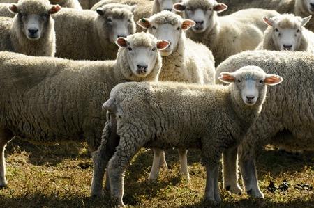 flock: Flock of sheep, New Zealand. Stock Photo
